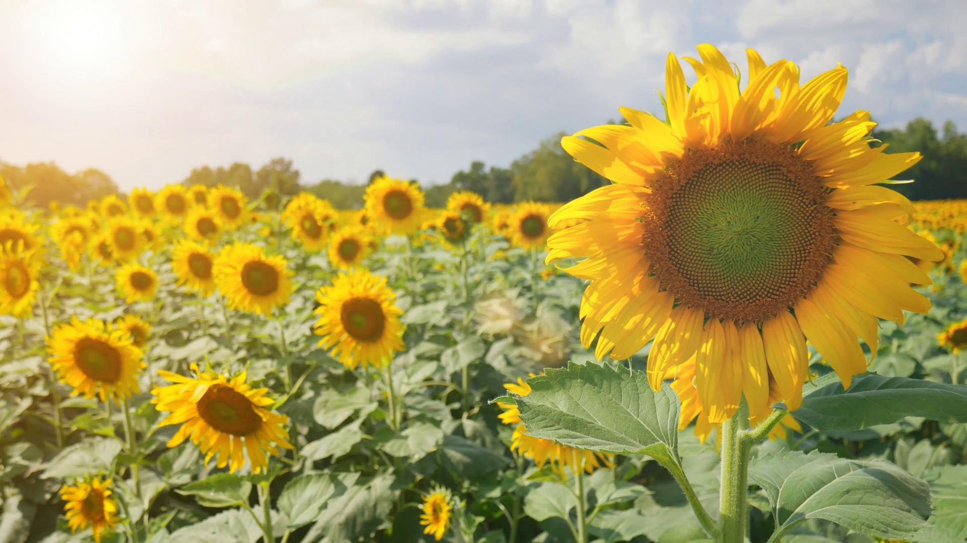 Yellow sunflower in the farm , Beautiful nature scene Stock Video ...