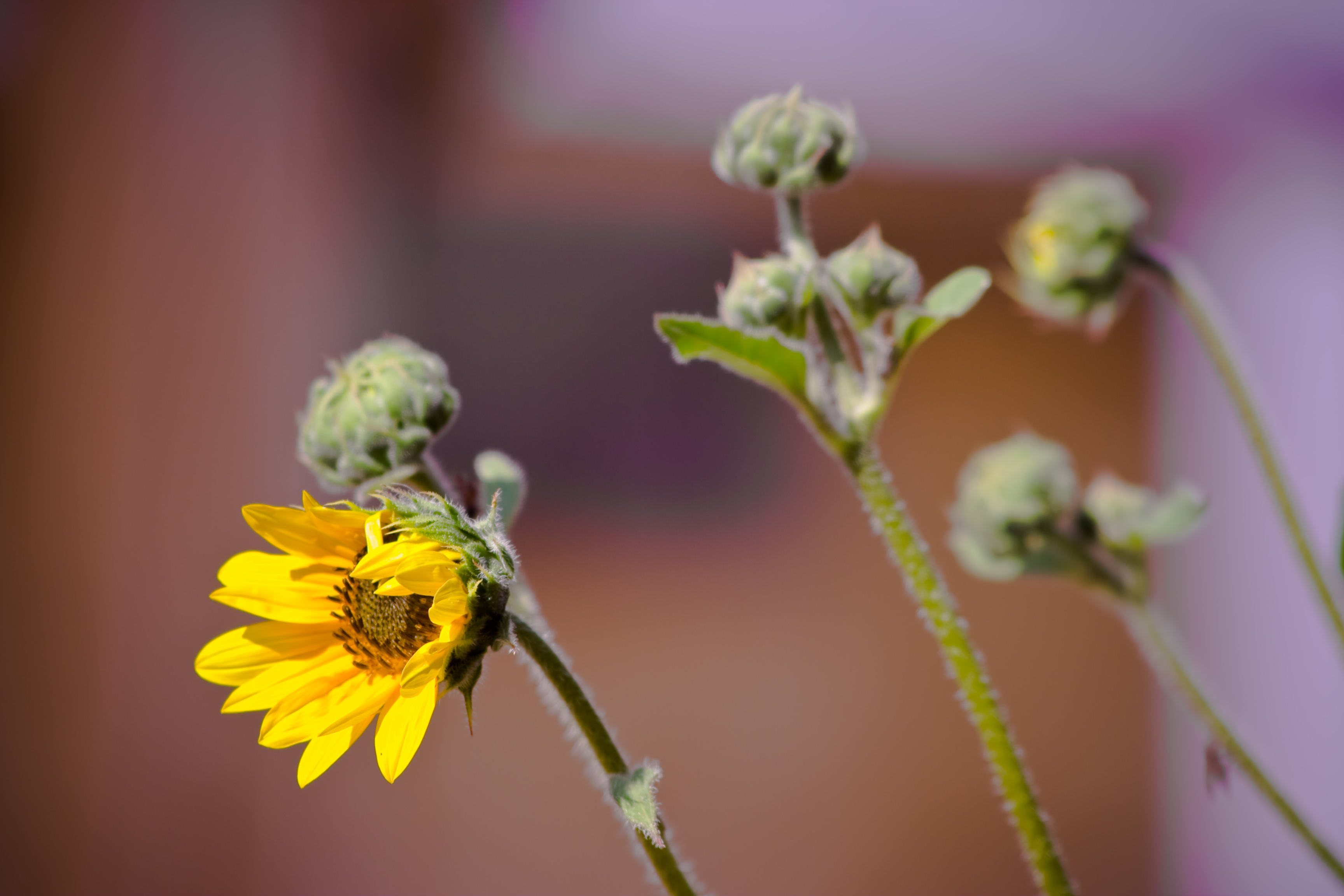 Yellow Sunflower, Blur, Flower, Green, Pedal, HQ Photo