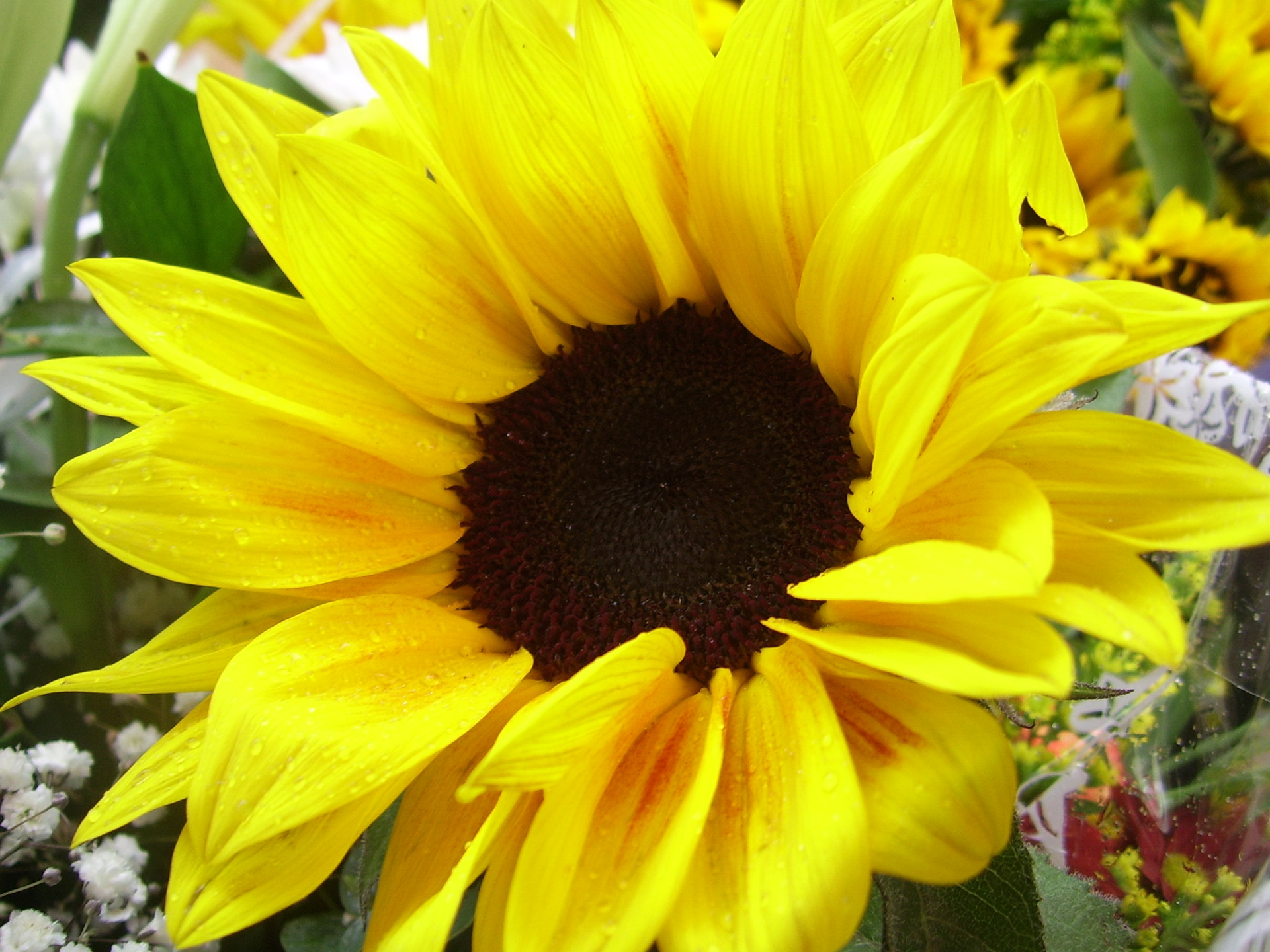 Yellow Sunflower Free Stock Photo - Public Domain Pictures