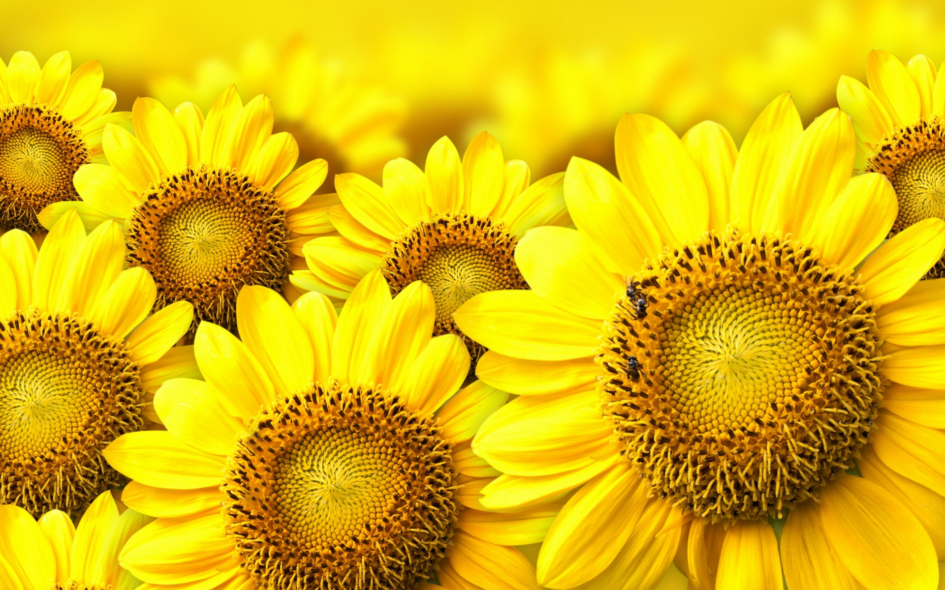Yellow Sunflow HD Wallpaper, Background Images