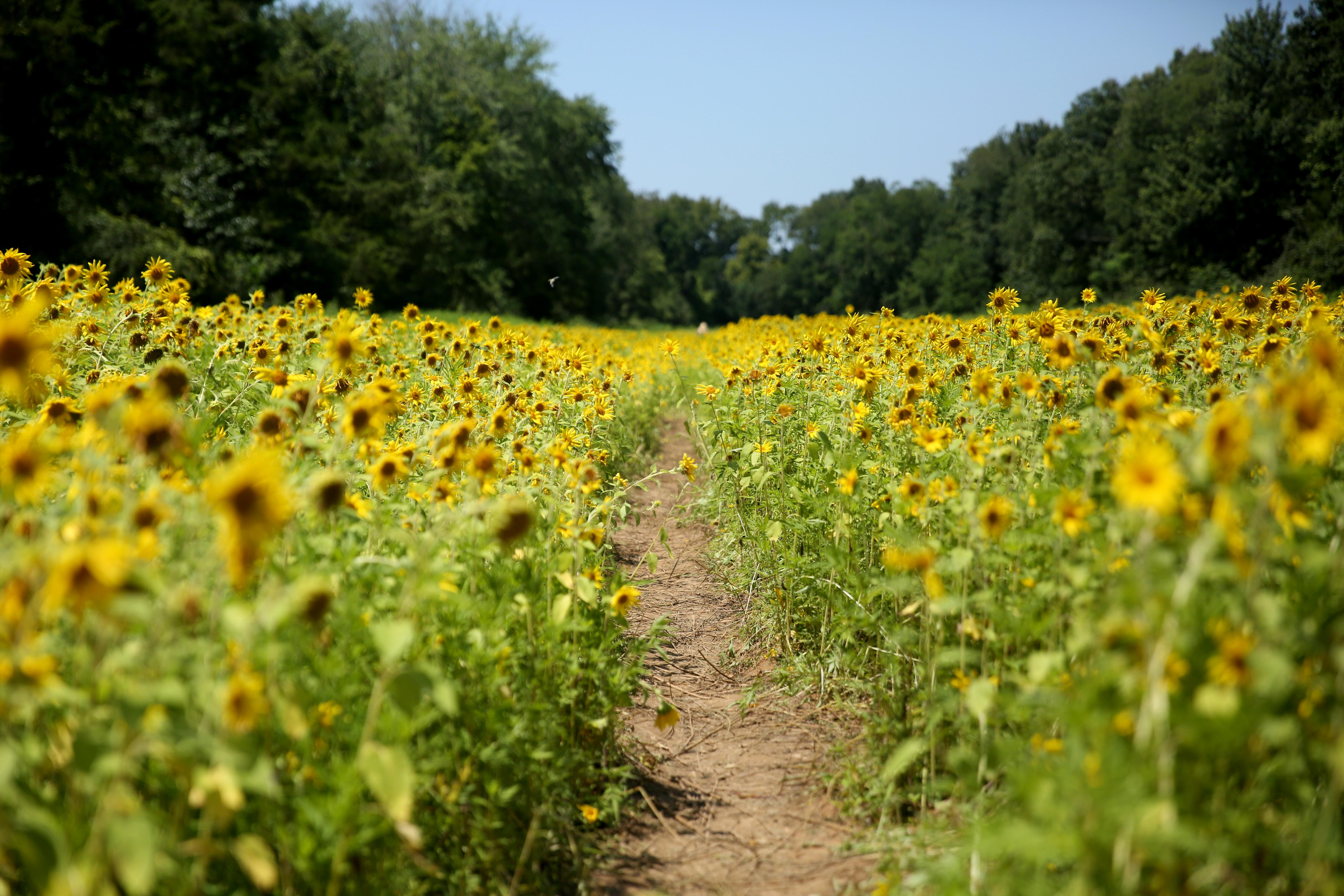 This Maryland sunflower field is blowing up your Instagram feed | DC ...