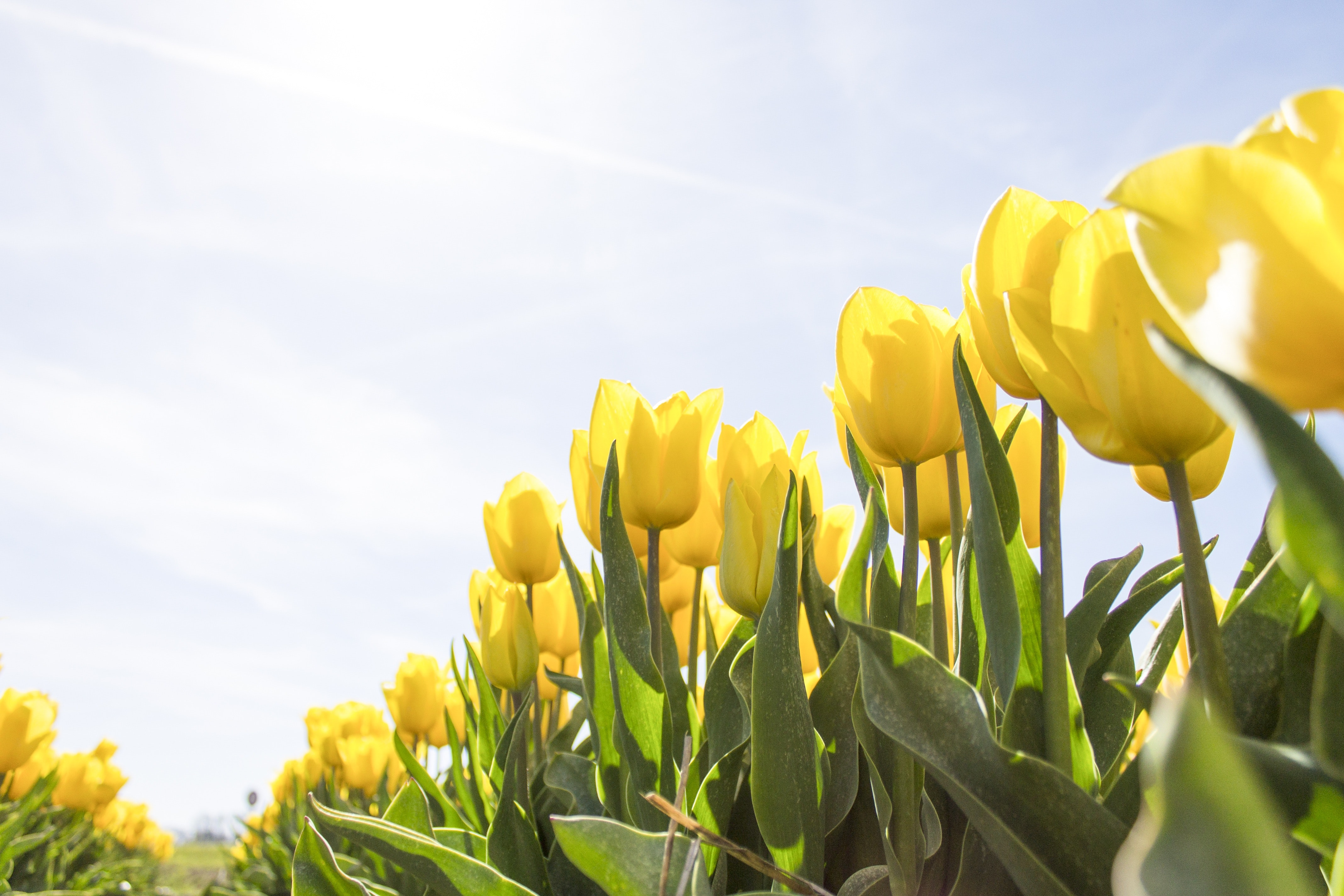 Yellow Tulip Flower Field during Daytime, Sun, Growth, Outdoors, Plants, HQ Photo