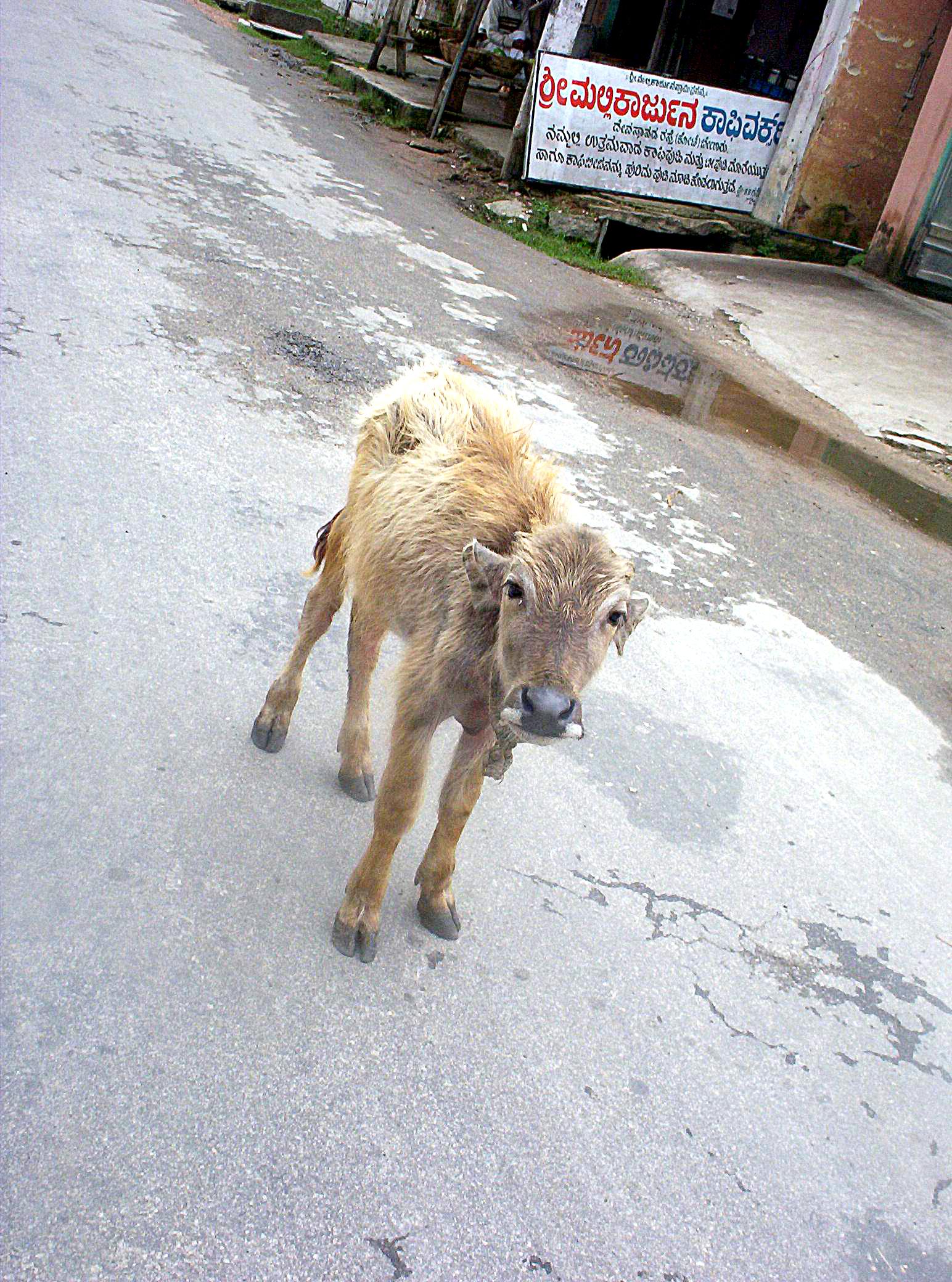 young buffello, Animal, Street, HQ Photo