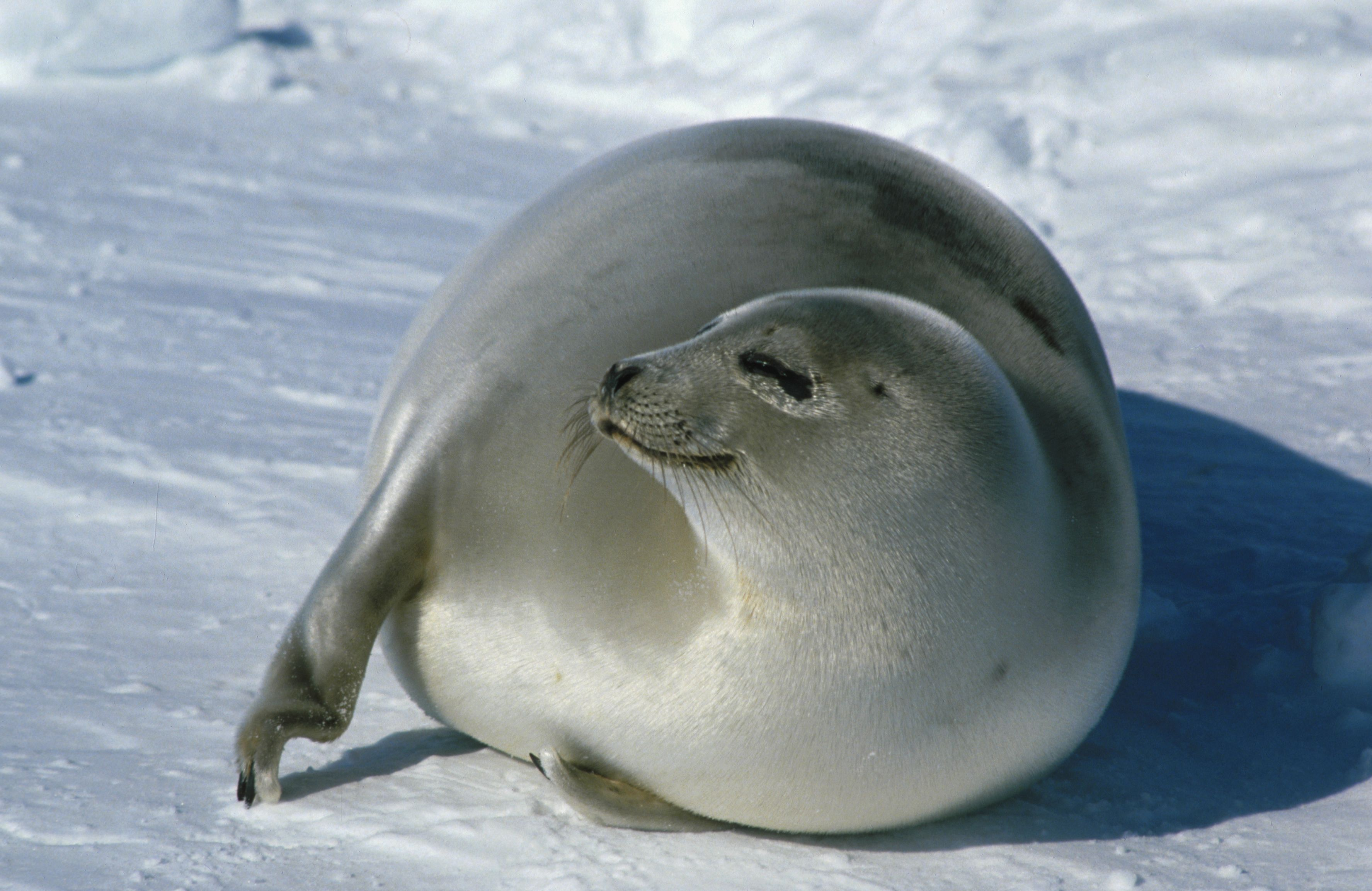 Young harp seal photo