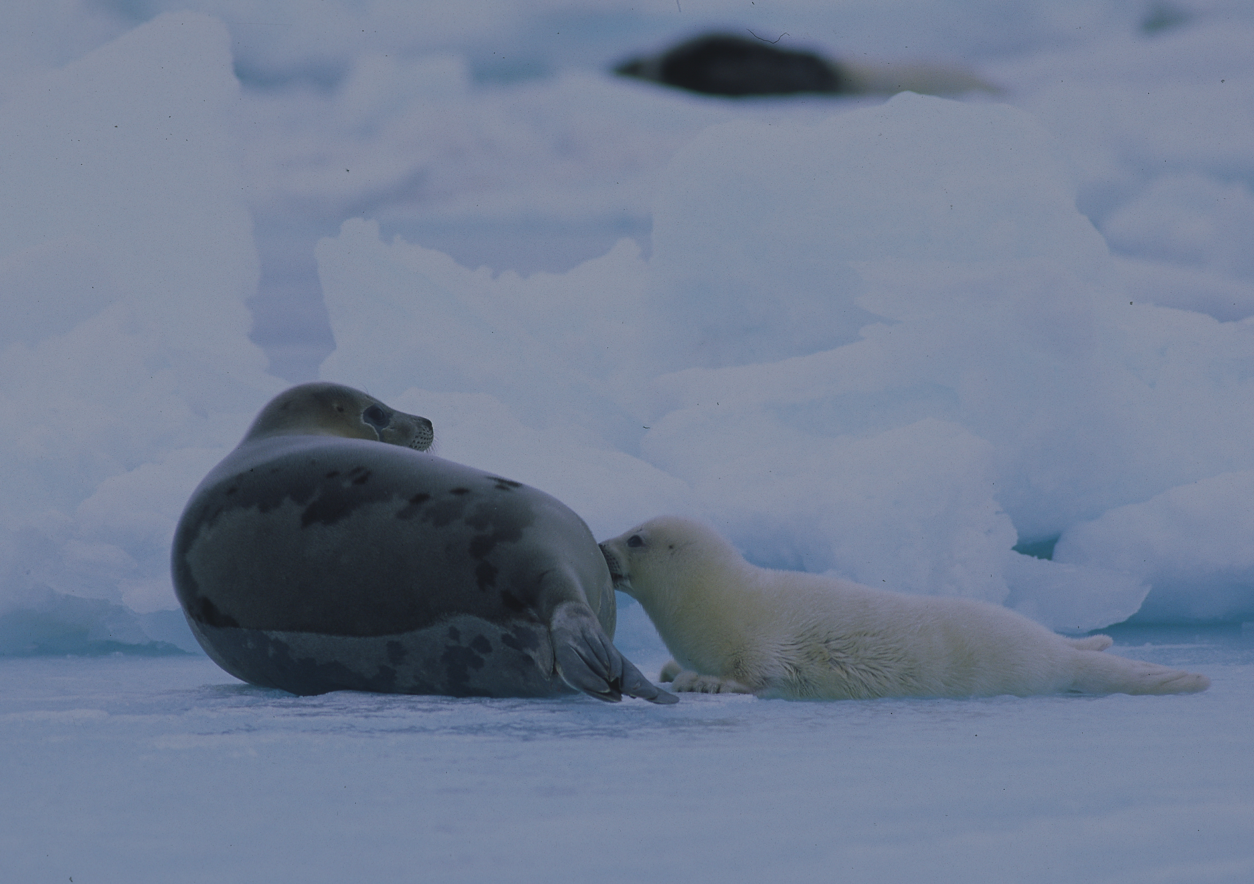 File:Harp seal mother and pup.jpg - Wikimedia Commons