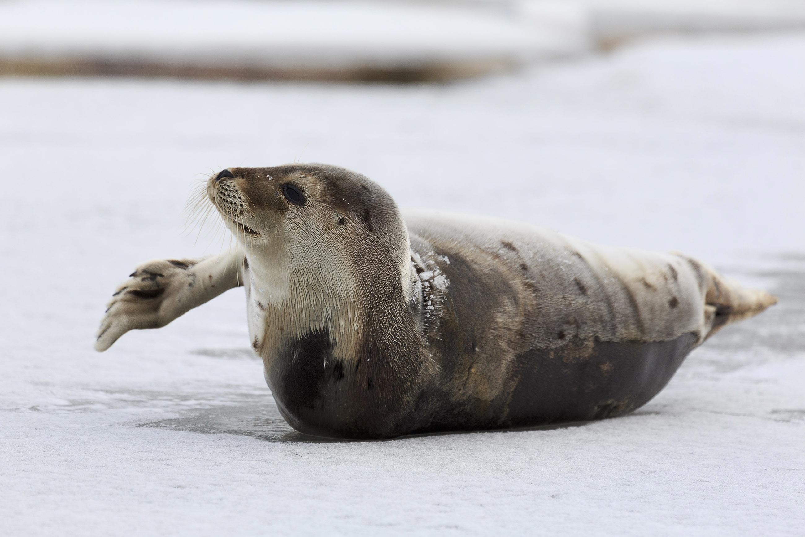Young Harp Seal, Animal, Kill, Lovable, Mammal, HQ Photo