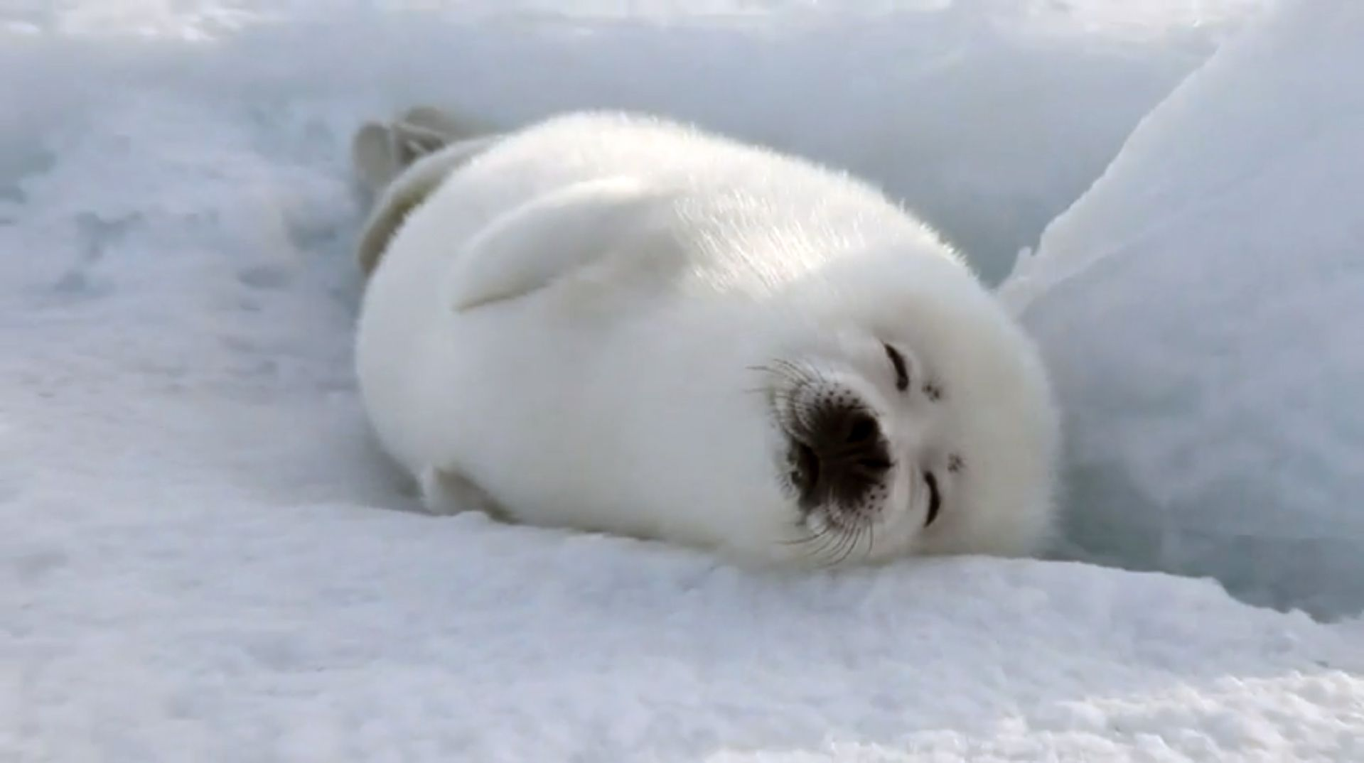 harp-seal-desktop-wallpapers-34.jpeg (1919×1074) | phoques ...