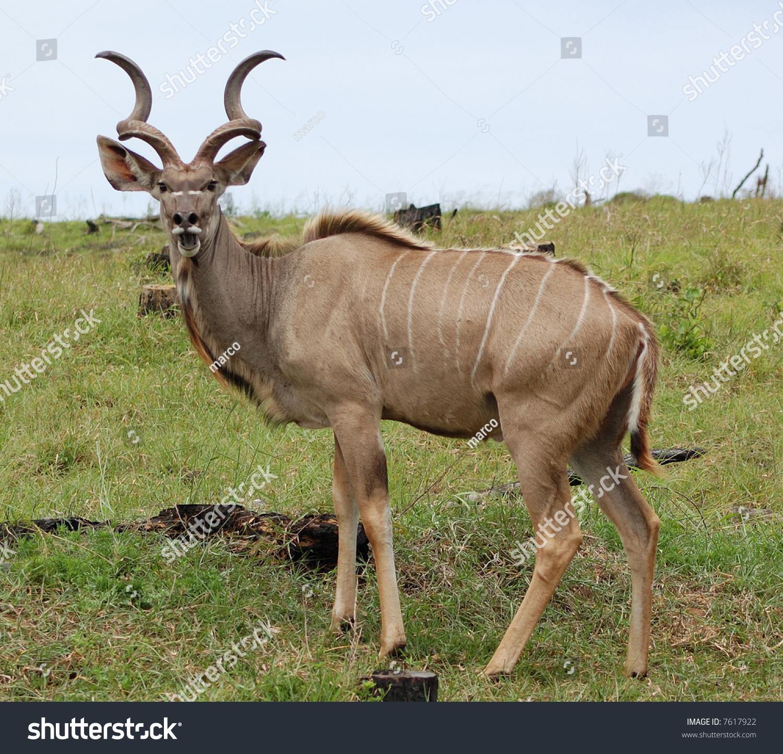 Young Kudu Male Stock Photo (Royalty Free) 7617922 - Shutterstock