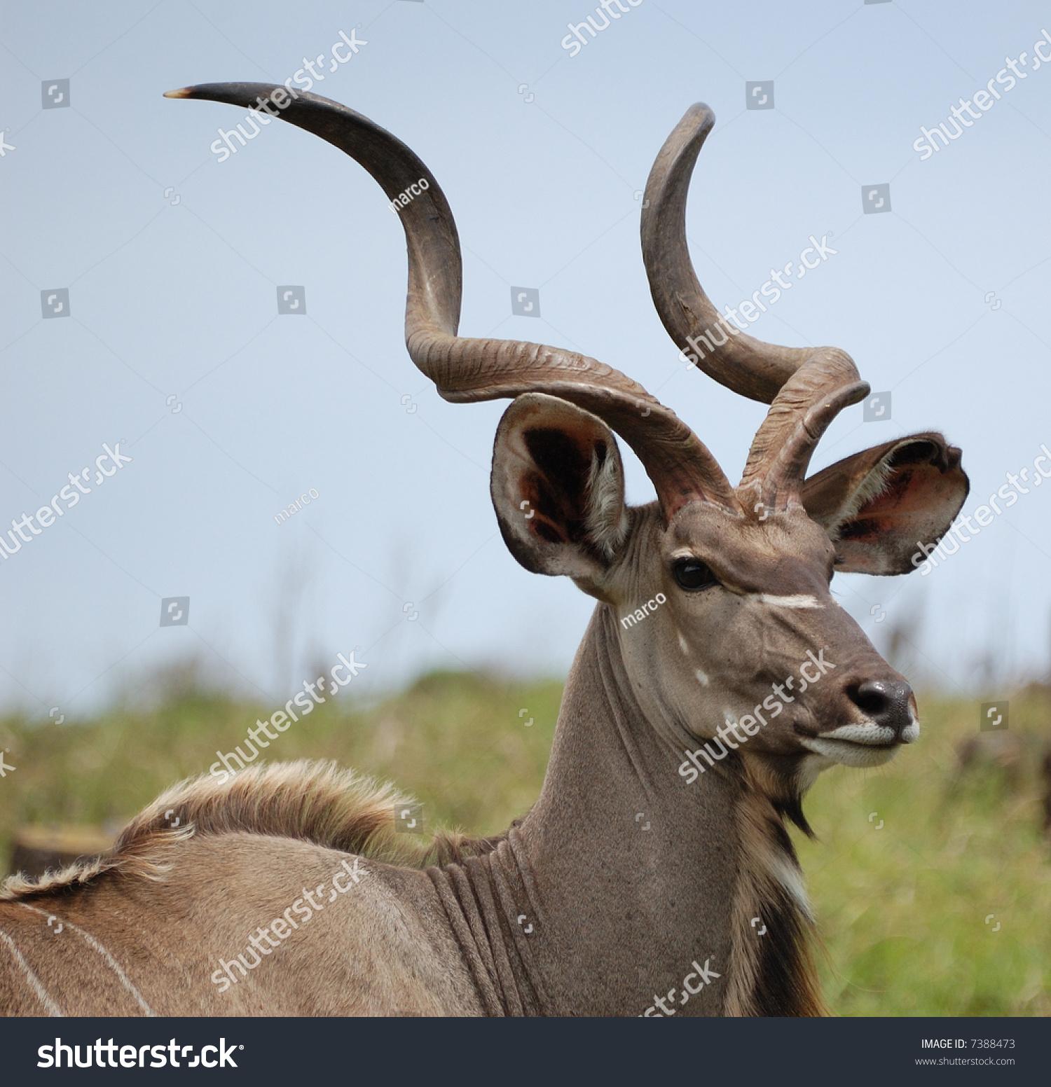 Young Kudu Bull Stock Photo (Royalty Free) 7388473 - Shutterstock