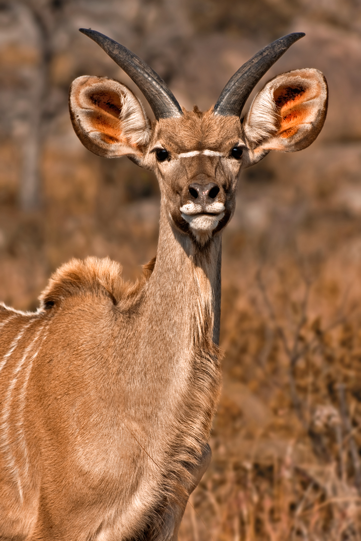 Young kudu - sepia photo