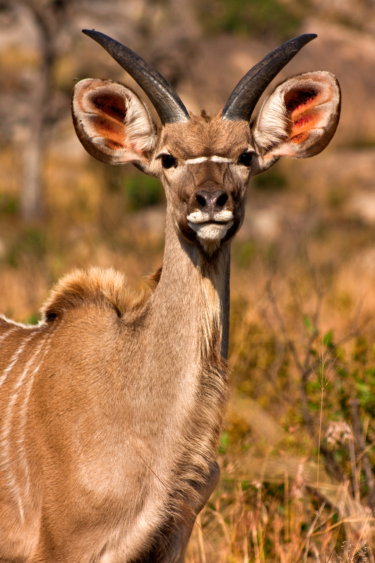 Young Kudu, Africa, Picture, Maroon, National, HQ Photo