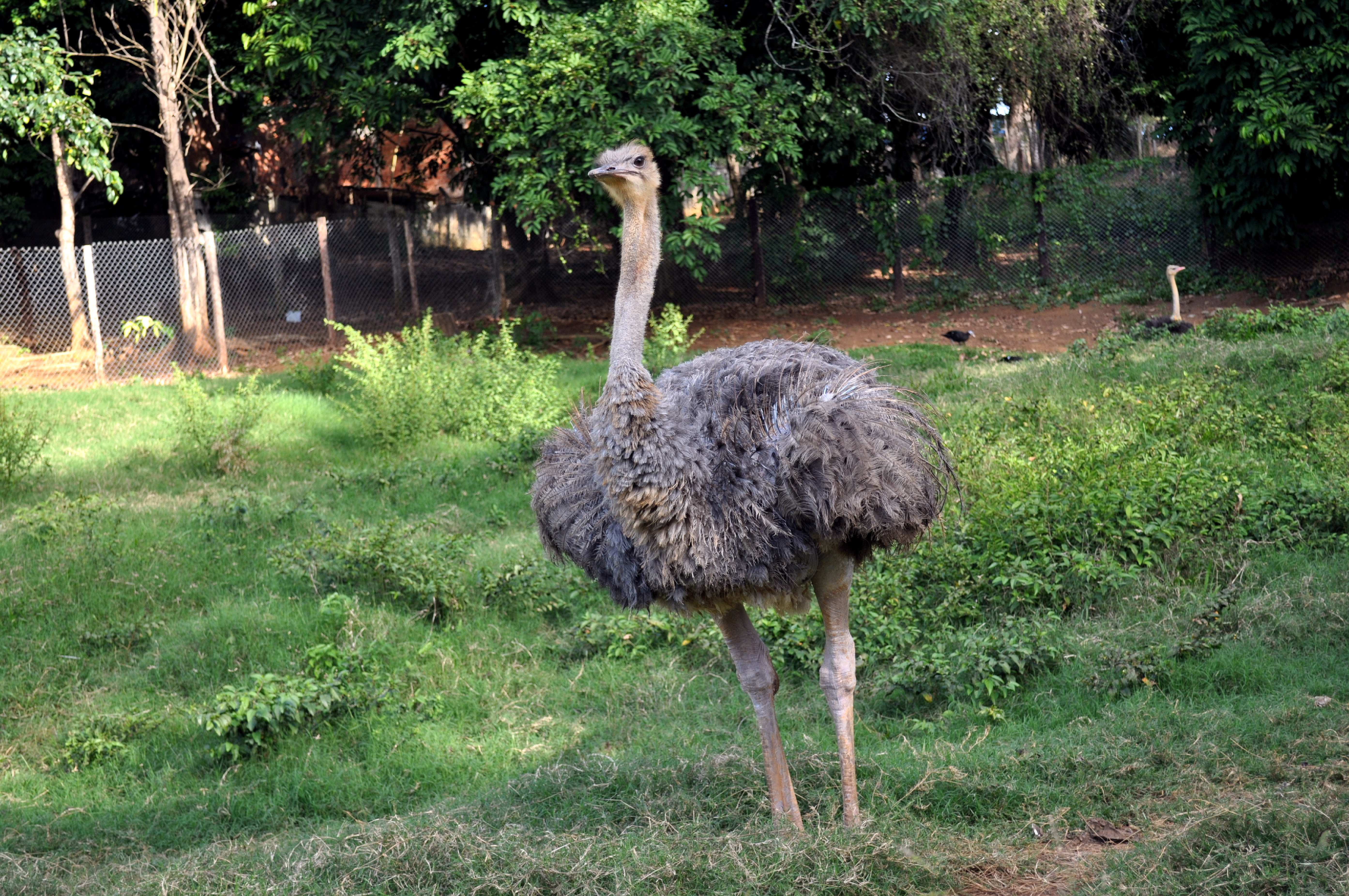 Young ostrich photo