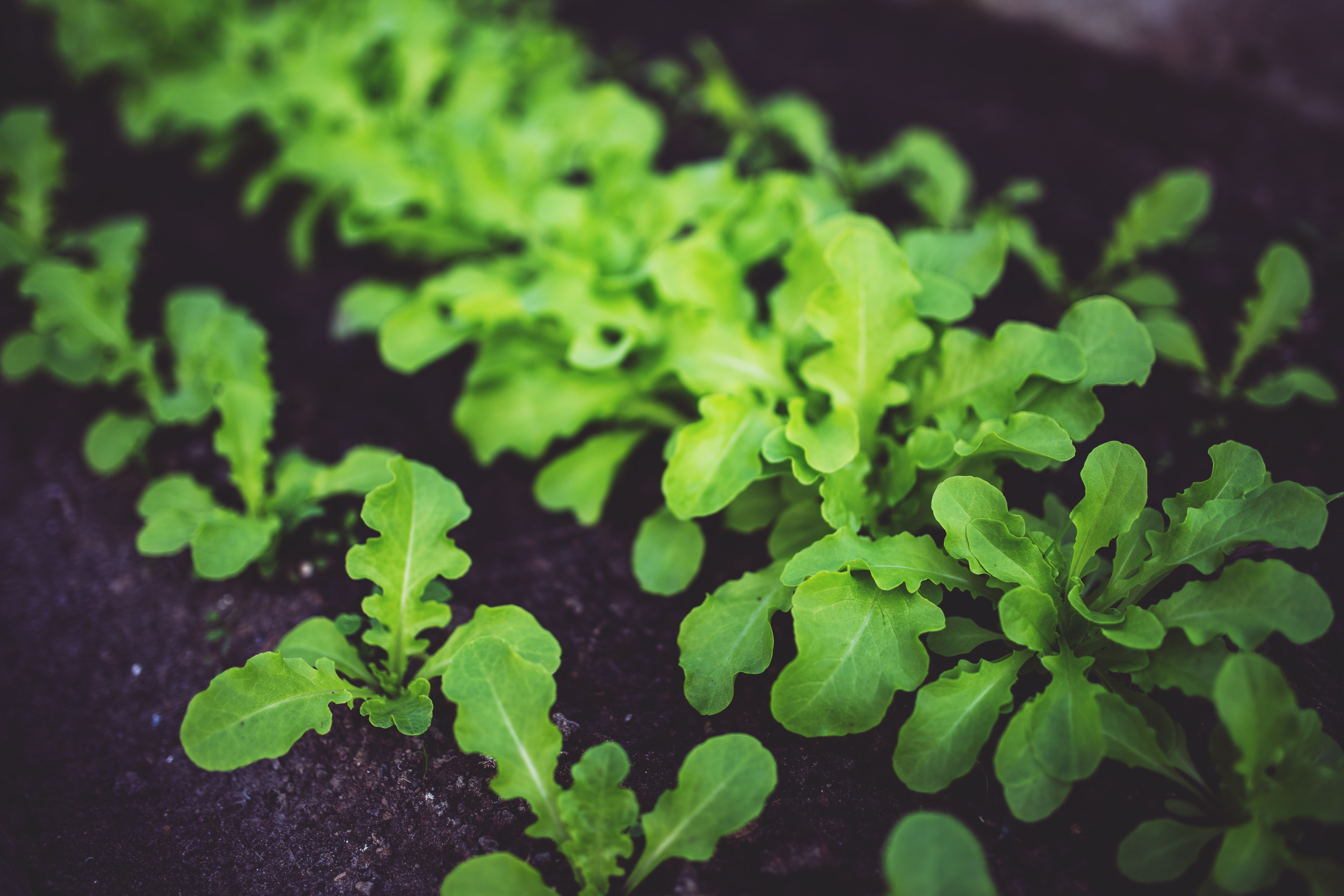 Young salad, Salad, Plant, Lush, Soil, HQ Photo