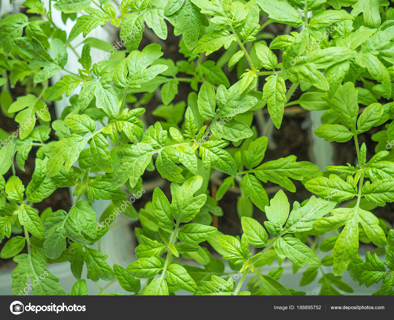 Young tomato seedlings in early spring, background — Stock Photo ...