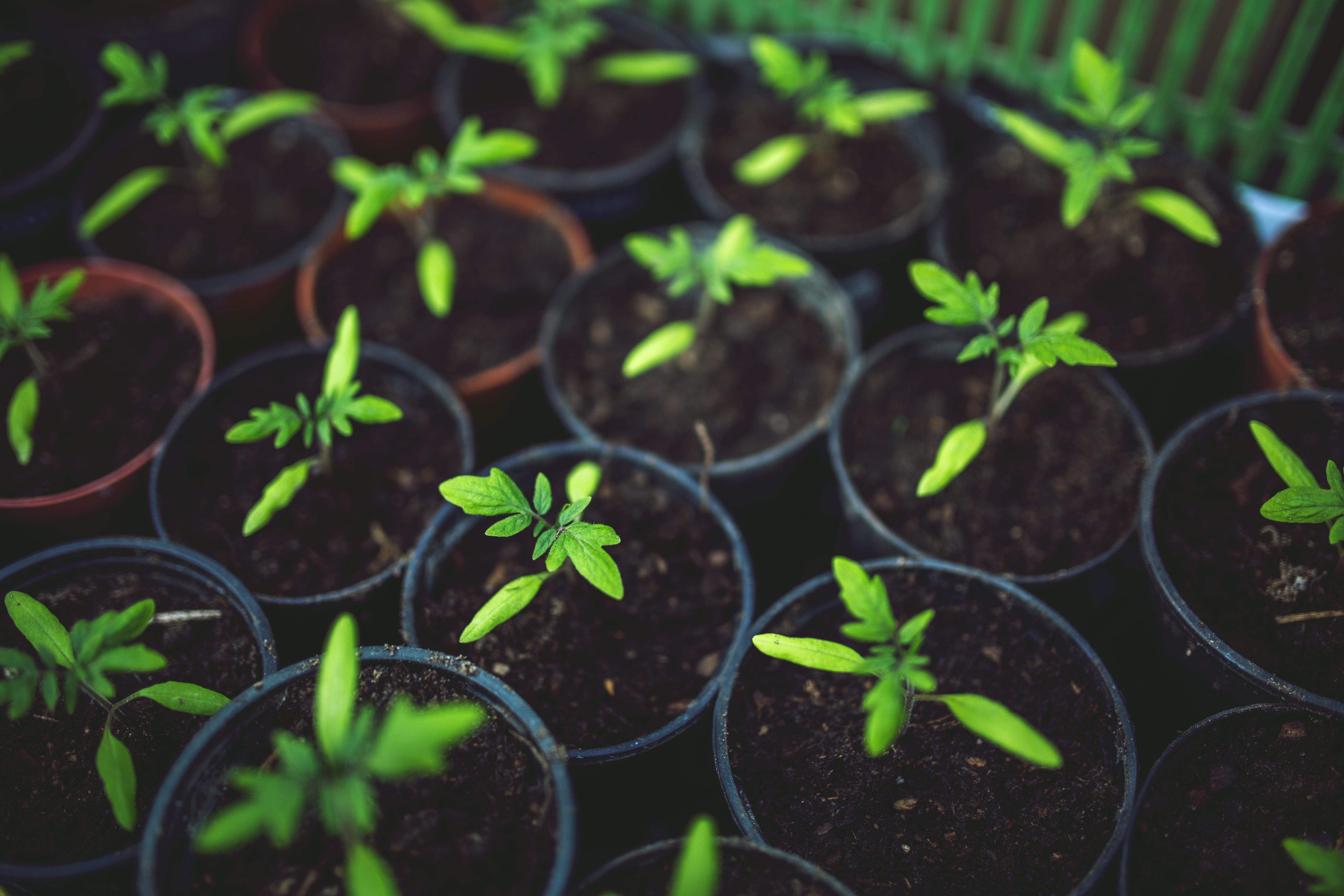 Young tomato, Maturation, Pot, Little, Leaf, HQ Photo
