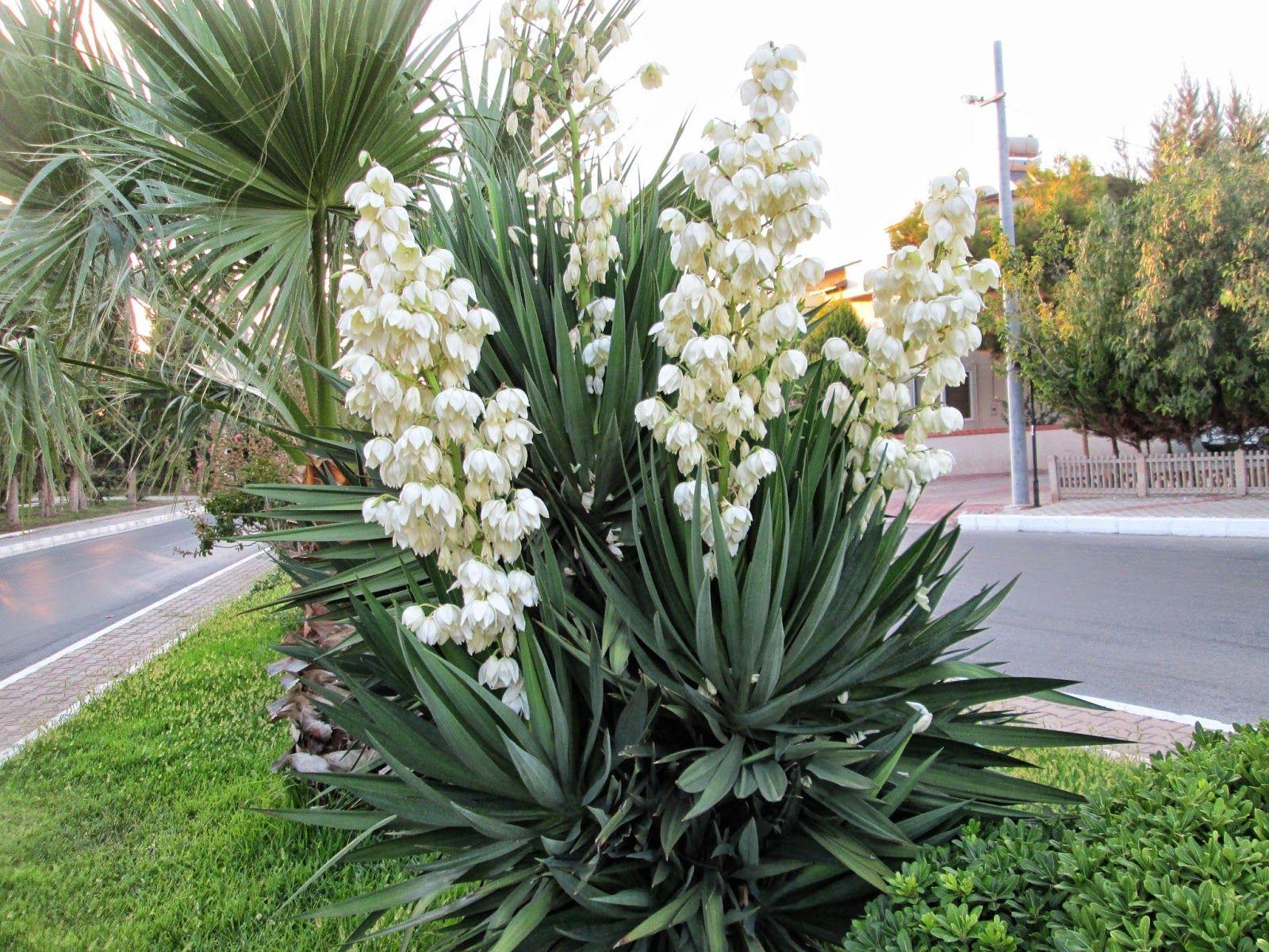YUKKA'MIN CEZASI | Yucca gloriosa