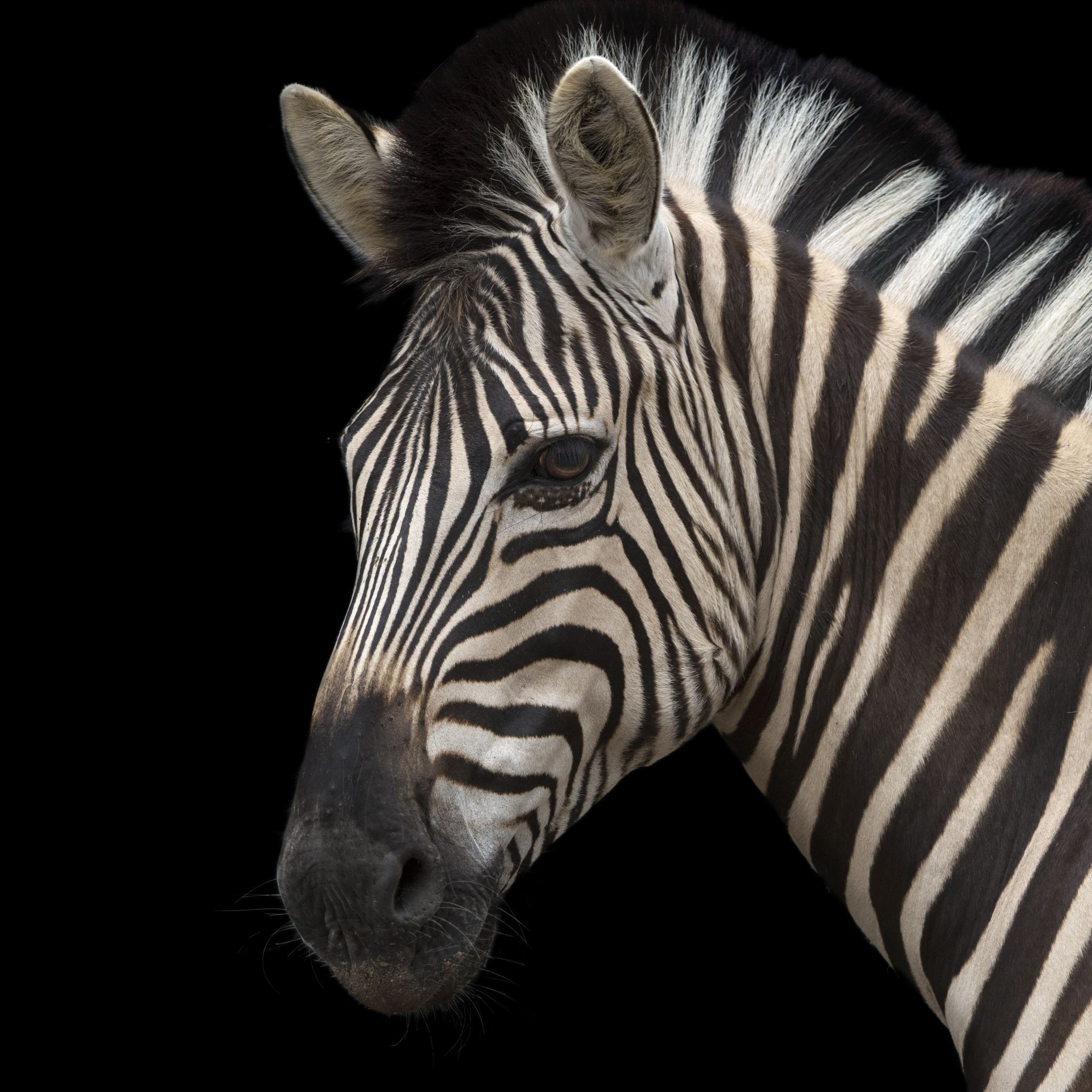 Plains Zebra | National Geographic
