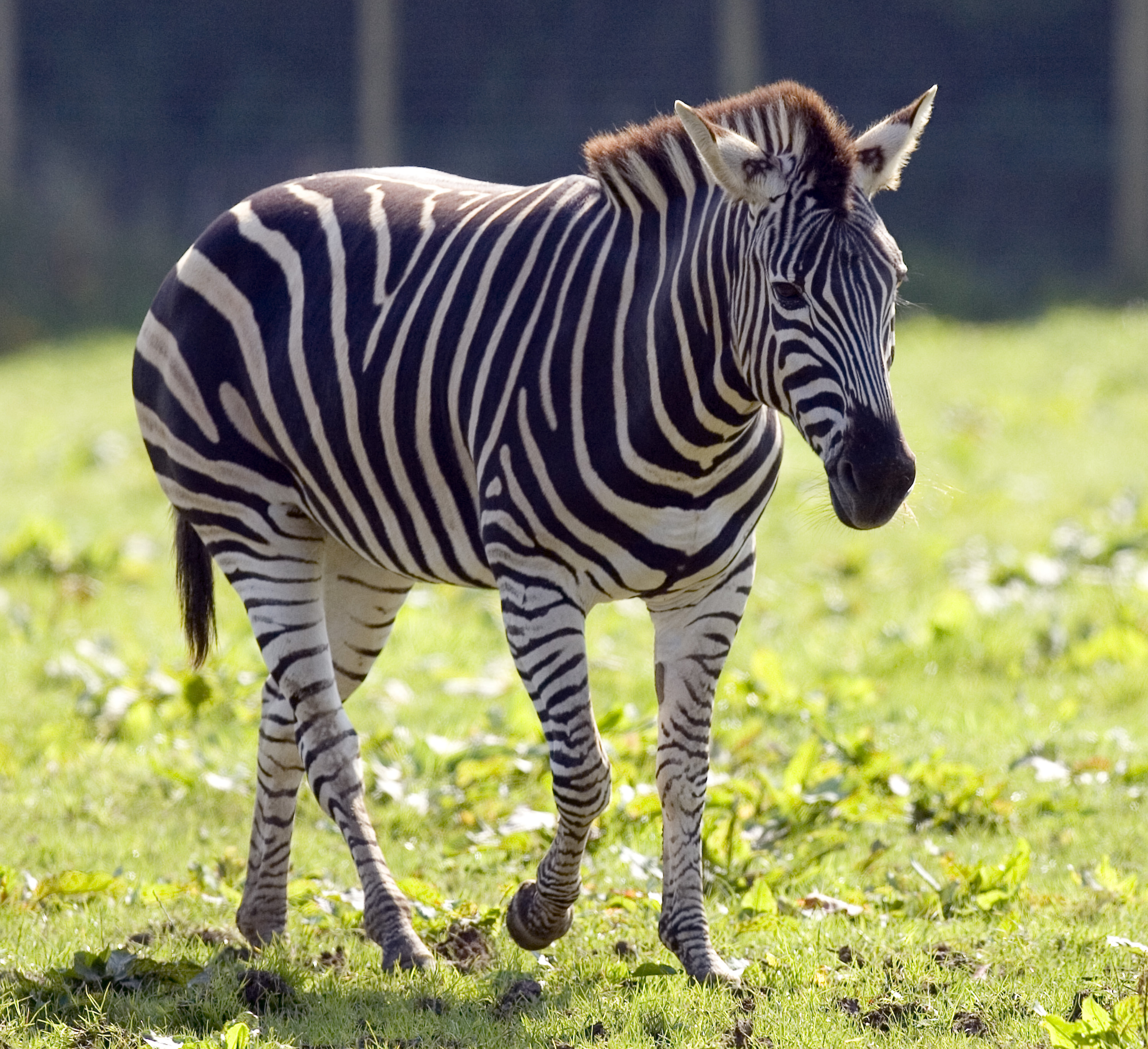 Zebra – Fun Facts & Information For Kids - Folly Farm