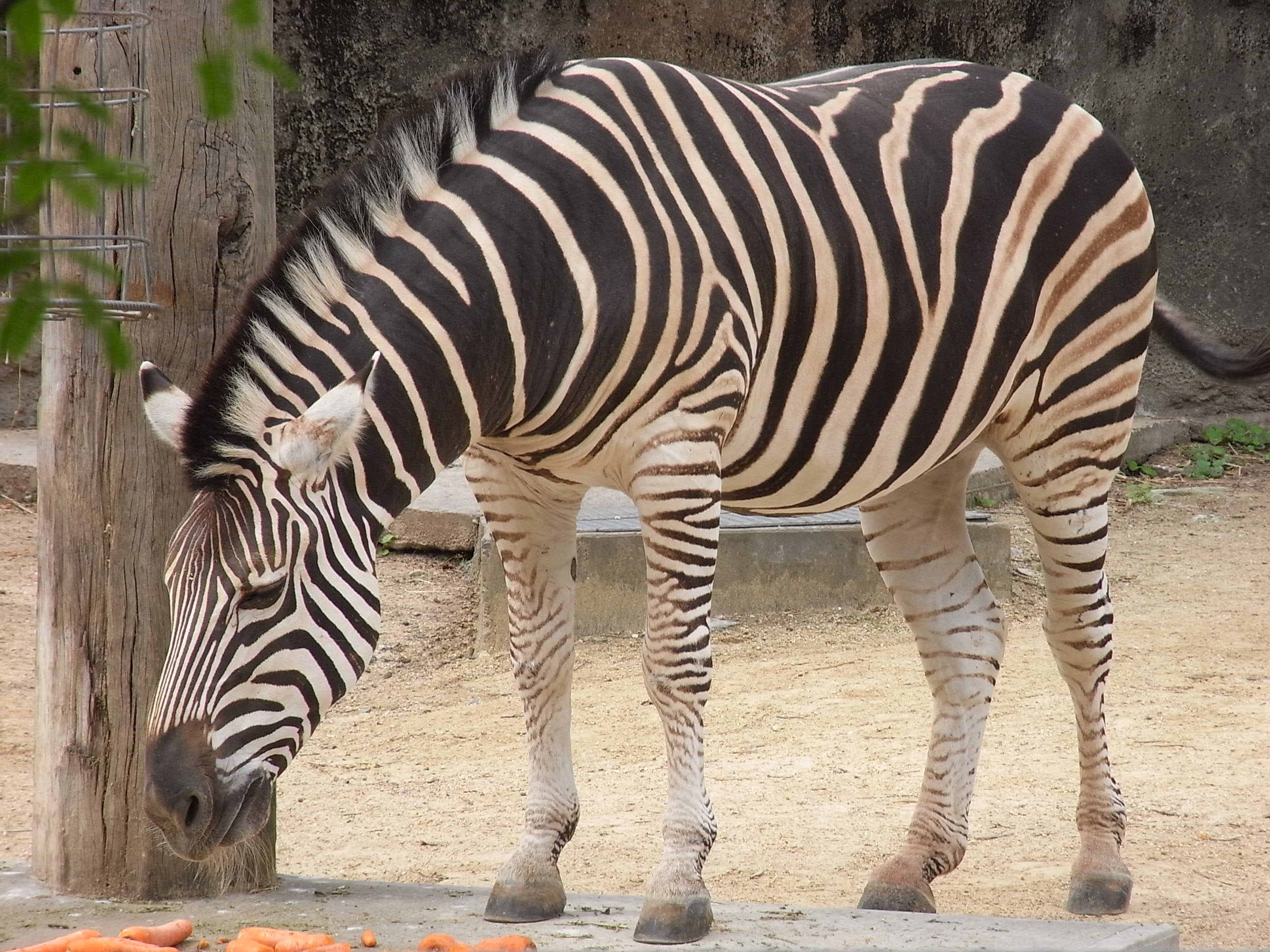 Zebra, Animal, Black, Equine, Horse, HQ Photo