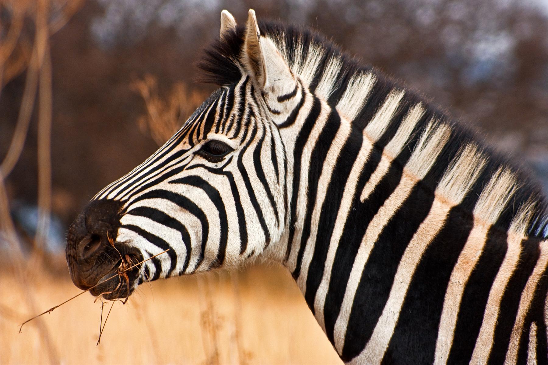 Zebra close-up photo