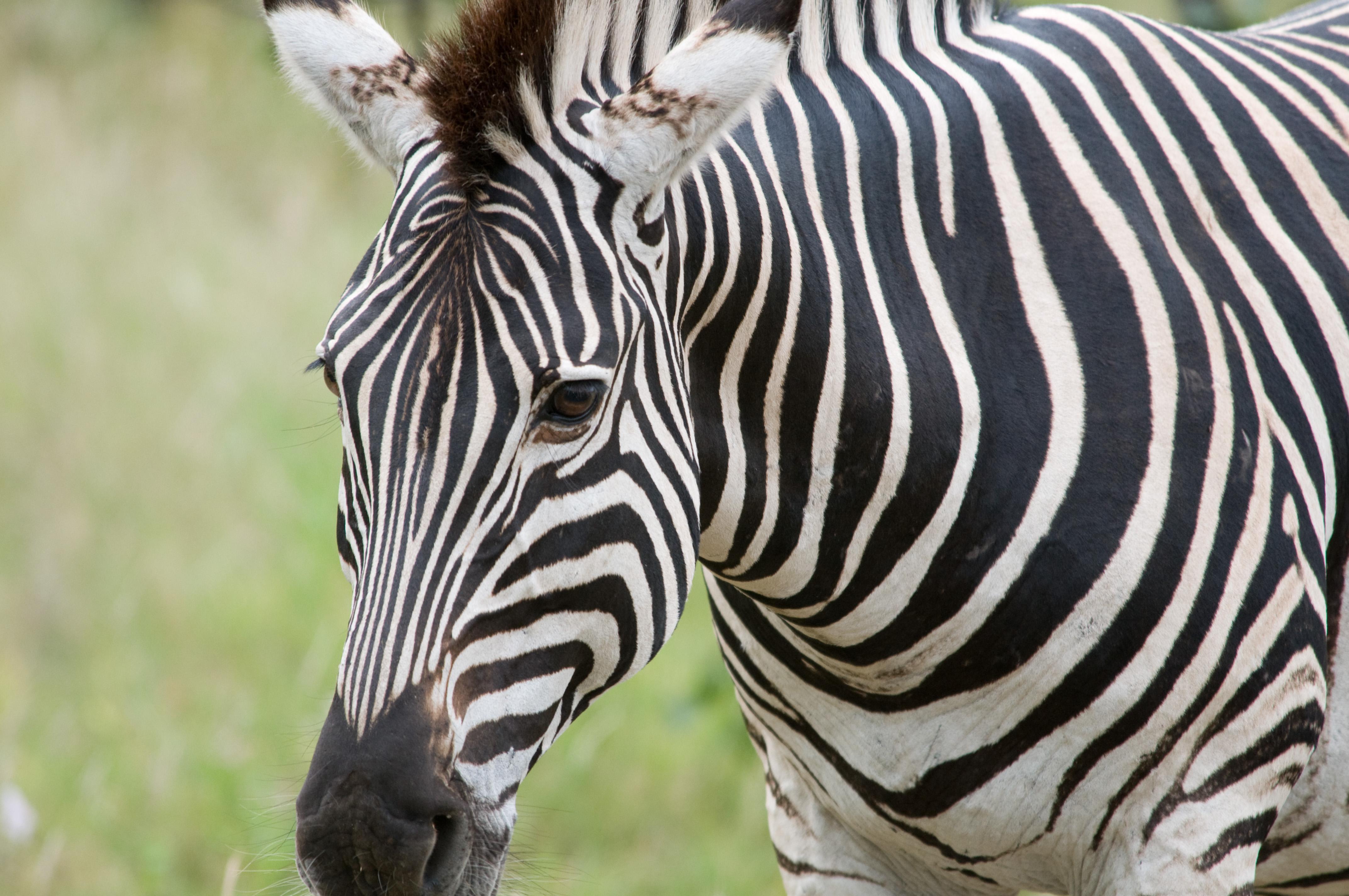 Zebra close-up | photo page - everystockphoto