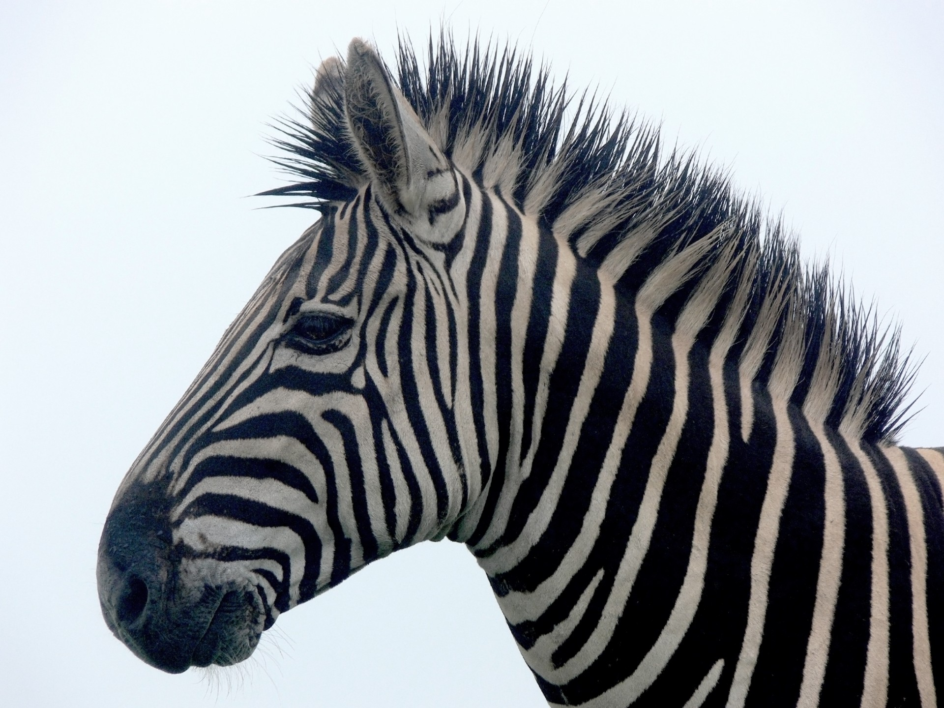 Zebra Portrait Close Up Free Stock Photo - Public Domain Pictures