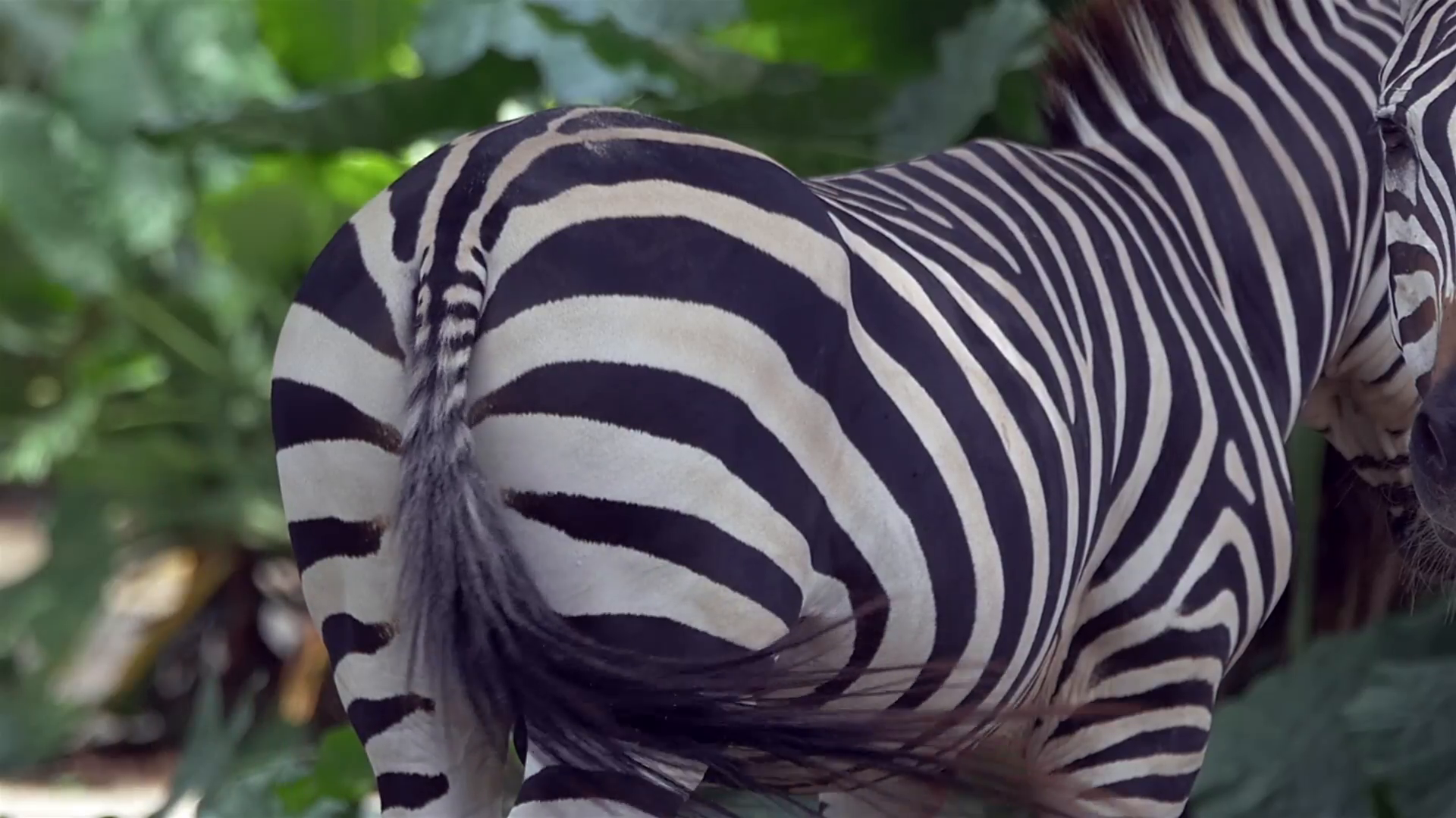 Animals in nature. A closeup of a zebra wagging its tail to get rid ...
