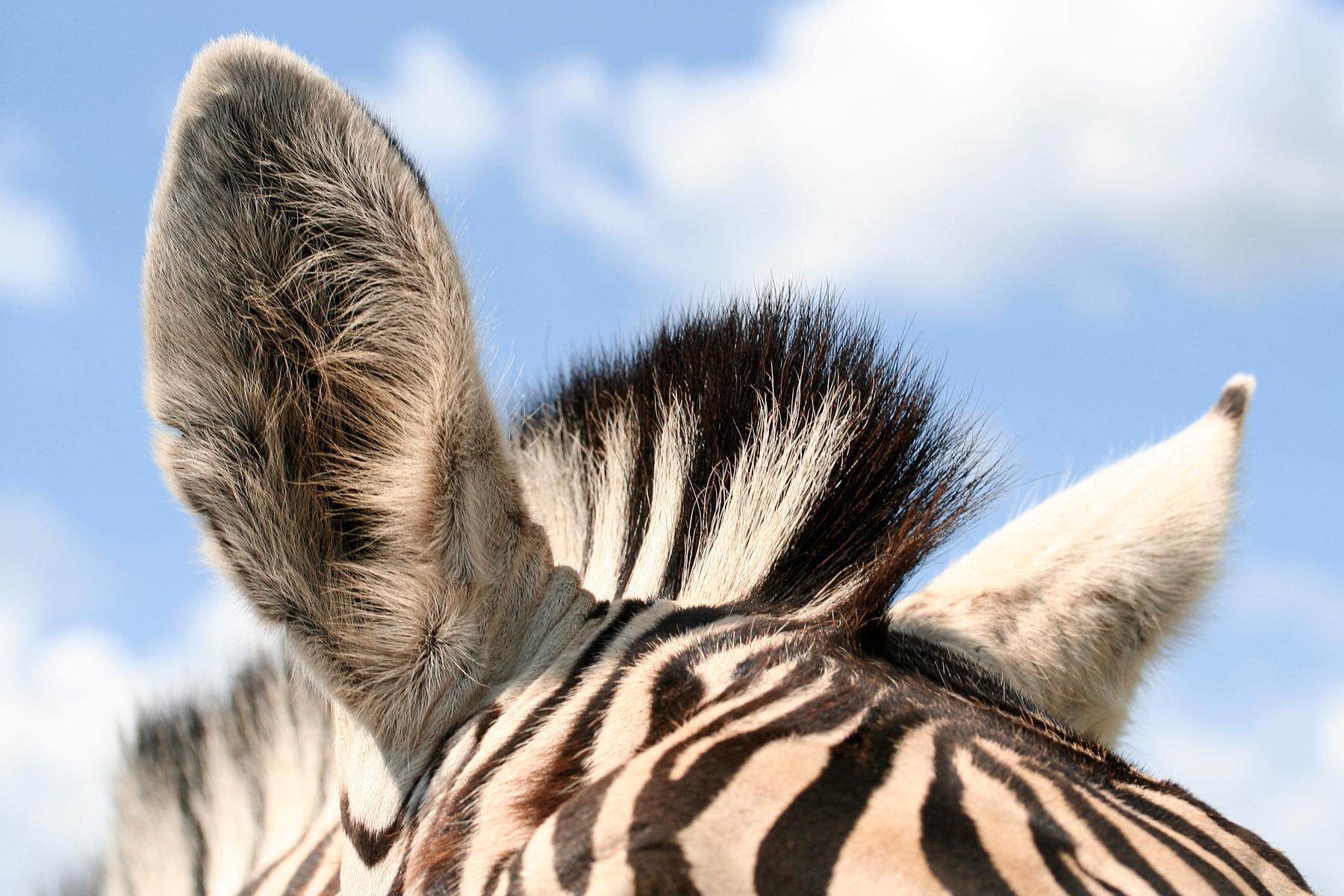 Zebra Ears, Animal, Image, Macro, Nature, HQ Photo