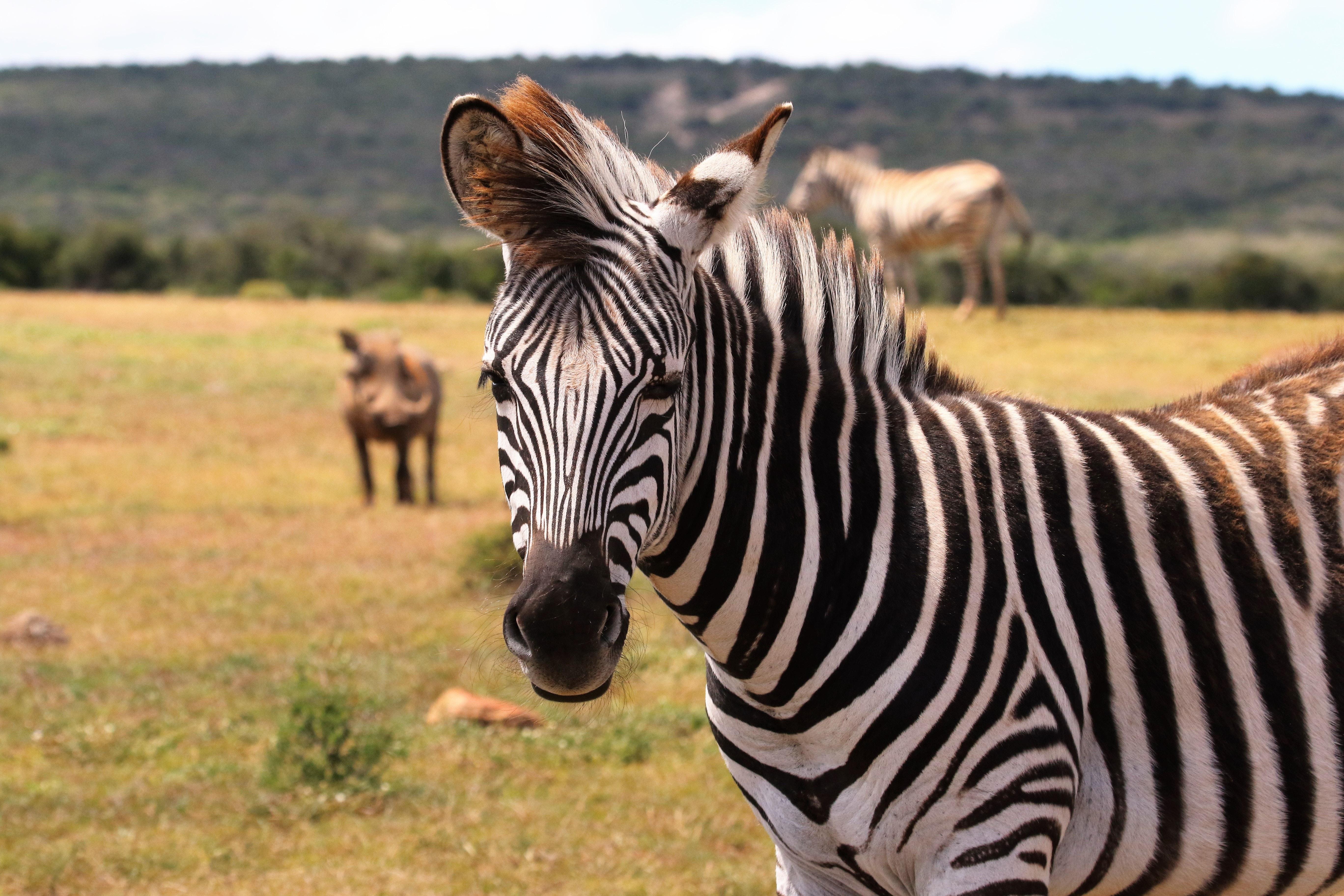 Zebra on green grass field photo