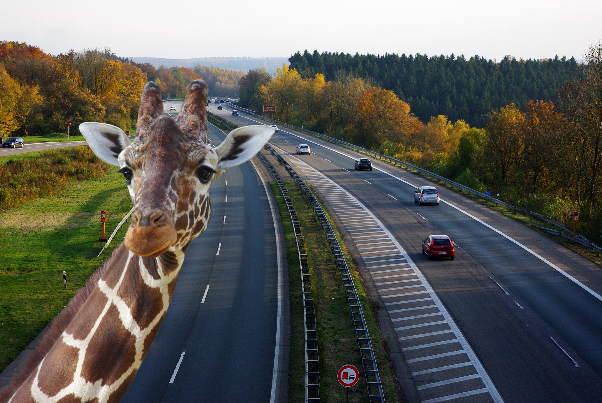 Zebra on the Highway, Animal, Busy, Construction, Highway, HQ Photo