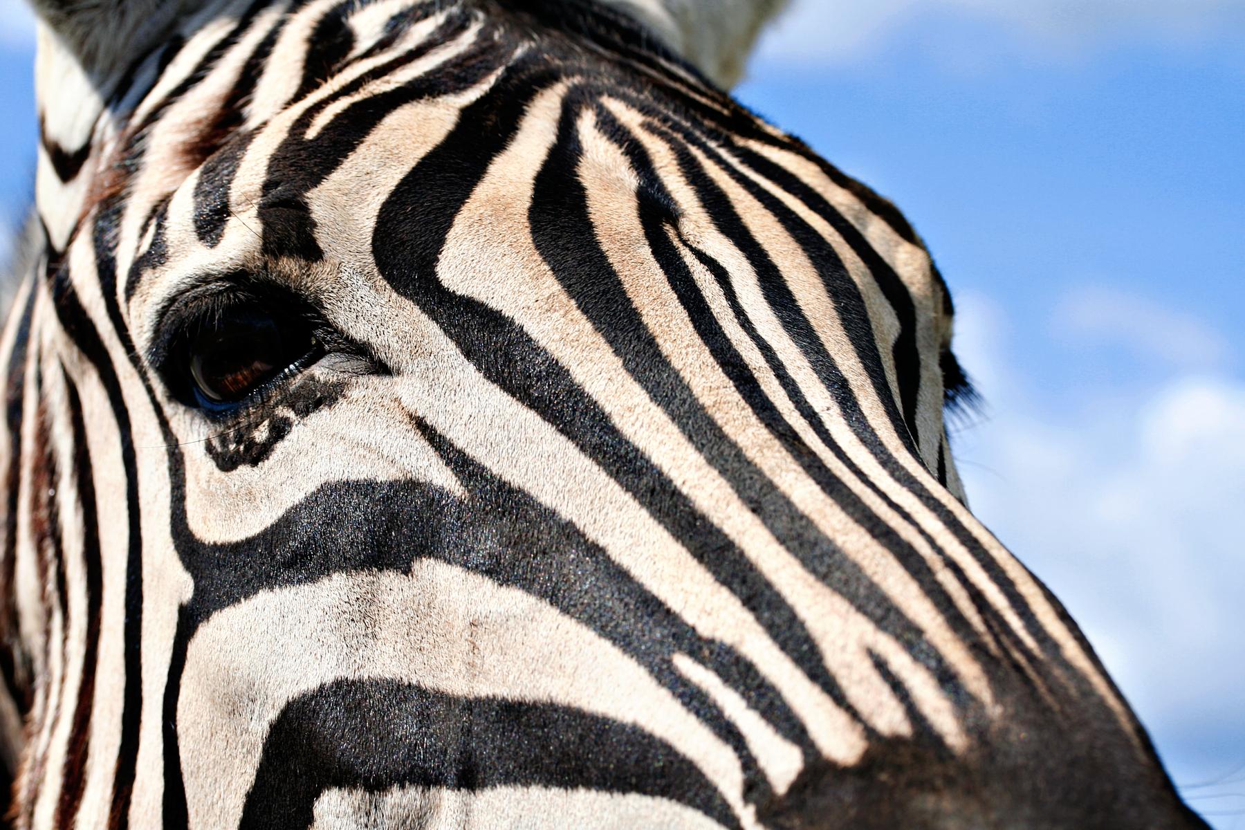 Zebra profile photo