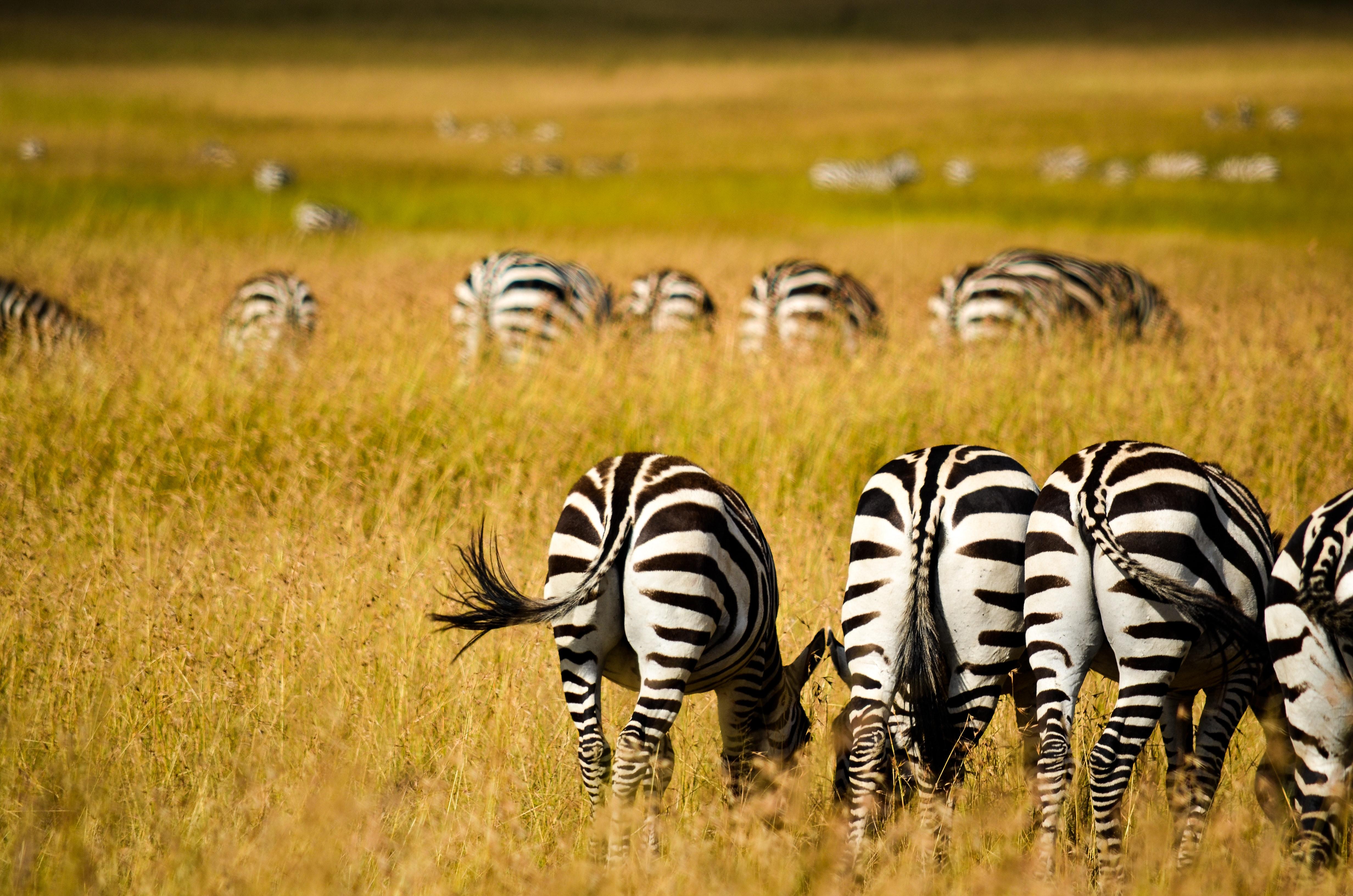 Zebras on field photo