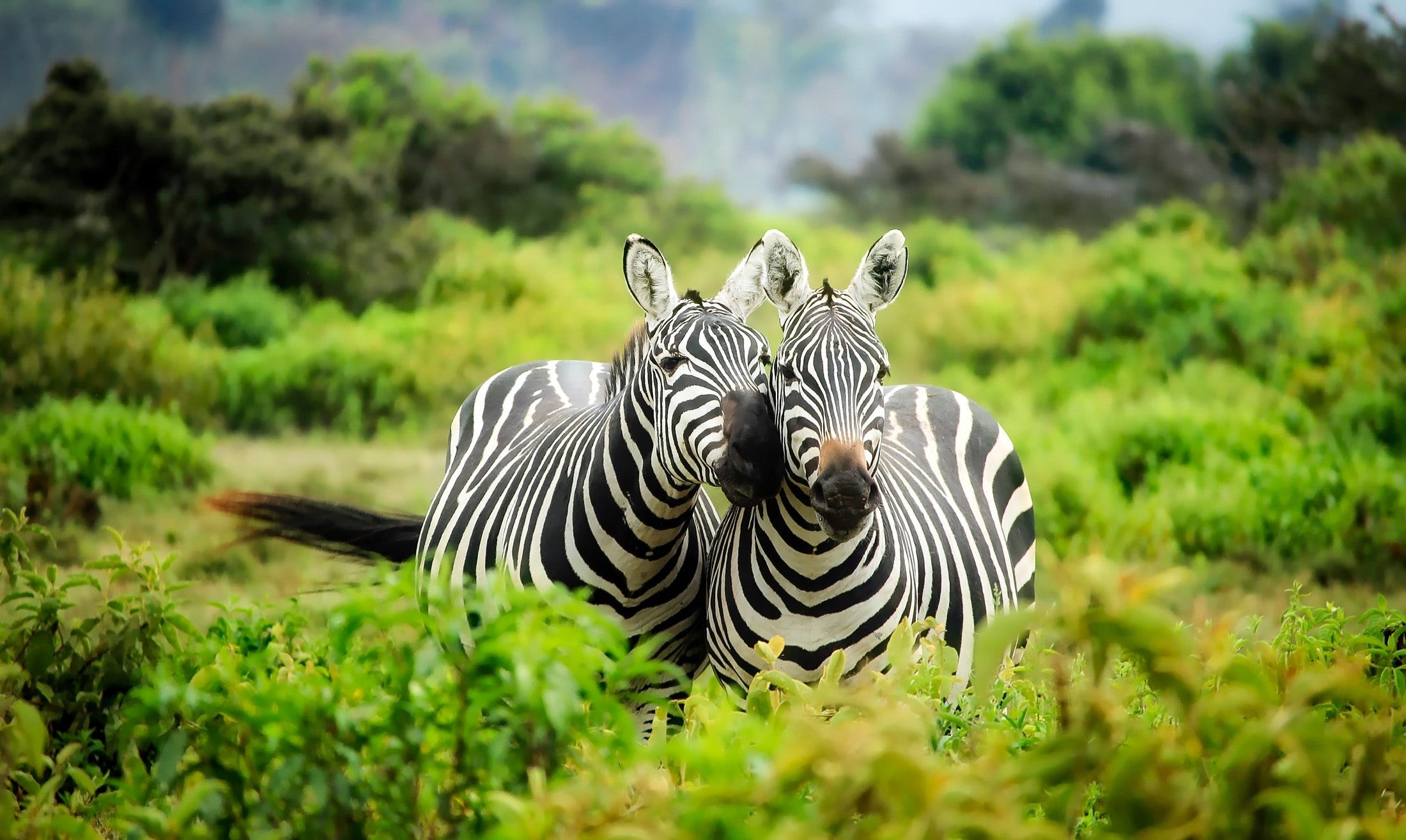 Zebras on zebra photo