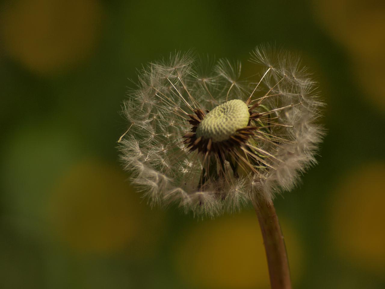 Dandellion, summer, white, green, fluffy, HQ Photo