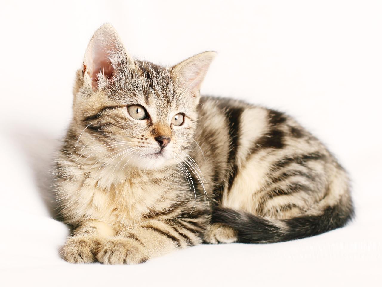 White background cat, Pose, Animal, pet, loyal, friend, animal, HQ Photo