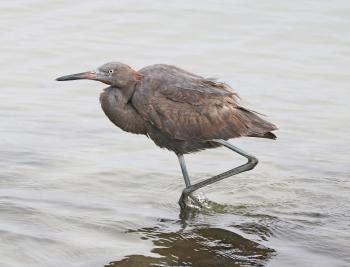 191 - REDDISH EGRET (1-11-2018) first year, attu st, coronado, san diego co, ca -01 (7)