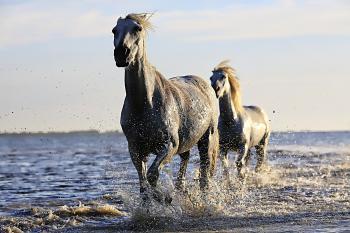 2 Black Horse Running on Body of Water Under Sunny Sky