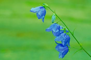 2 Blue Flower