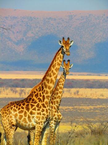 2 Giraffe on Green Grass Field in Close Up Photography
