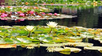 2 White Lotus Flowers