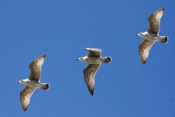 3 White Birds Flying Under Blue Sky