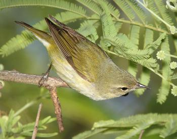 807 - TENNESSEE WARBLER (4-19-12) convention center, south padre island, tx (1)