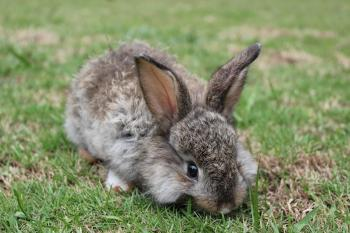 A baby bunny nibbling on fresh grass