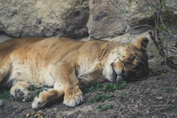 A beautiful golden tiger sleeps near a large stone
