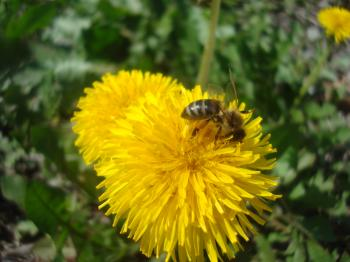 A bee on a yellow dandelion flower