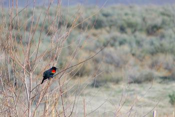 A black, red and yellow bird sits on a branch