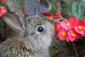 A brown rabbit sniffing red flowers
