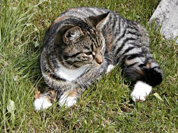 A cat lying in grass