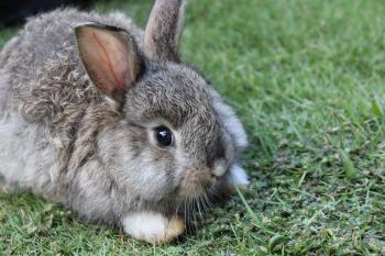 A grey-brown baby bunny rabbit relaxing