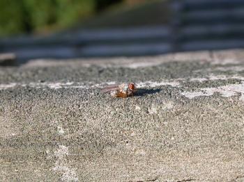 A grey fly